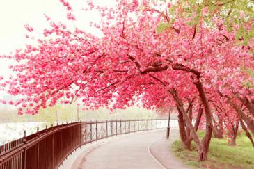 sakura di jepang